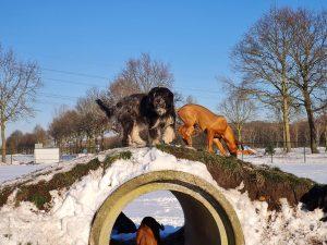 Honden in de sneeuw in de hondendagopvang